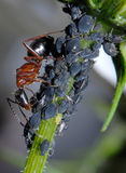 Mier die Aphids neigt Stock Afbeelding
