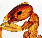 Mier die door Microscoop wordt bekeken Royalty-vrije Stock Afbeeldingen