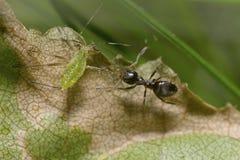 Mier die een bladluisbeen trekken royalty-vrije stock afbeelding