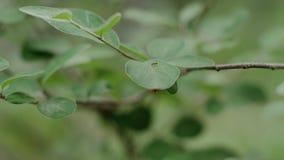 Mier die op een blad kruipen stock footage