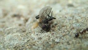 Mier en een nog levende vlieg stock videobeelden