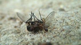 Mier en een nog niet dode vlieg stock footage