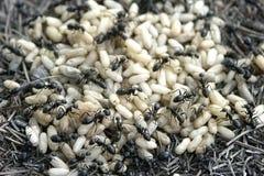 Mier en eieren Stock Afbeelding