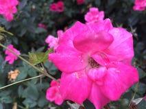 Mier en regen op een bloem royalty-vrije stock afbeelding