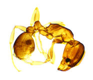 Mier onder de microscoop Royalty-vrije Stock Afbeeldingen