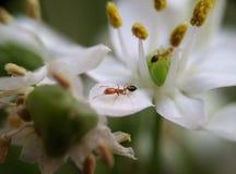 Mier op de bloem stock fotografie