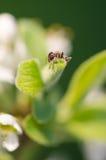 Mier op een groen blad Royalty-vrije Stock Foto's