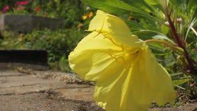 Mier op gele bloem stock video