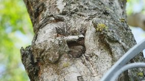 Mier ` s op de schors van een boom Sluit omhoog mieren op groene boommieren op schors Rode mieren die op de schors van oude bemos stock video
