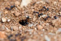 Mieren Stock Afbeeldingen