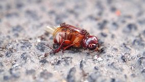 Mieren die een kever verslinden stock video
