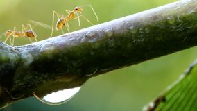 Mieren die op boom beklimmen stock video