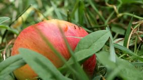Mieren die op een rode appel zwerven stock footage