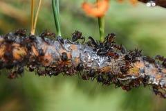 Mieren die op tak kruipen Stock Foto's