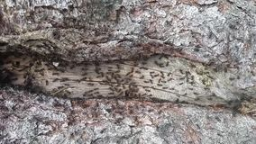 Mieren die over houten textuur kruipen stock videobeelden