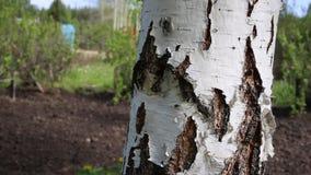 Mieren die rond de witte berk lopen stock video