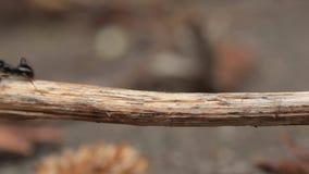 Mieren die rond lopen stock videobeelden