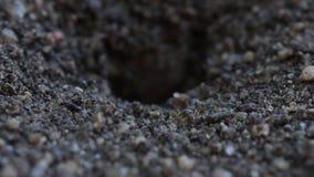 Mieren die Vuil verwijderen uit Nest stock video