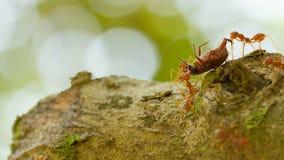 Mieren in een boom die een doodsinsect draagt Stock Fotografie