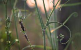 Mieren en aphids op een wilde bloem op het gebied Royalty-vrije Stock Foto