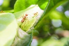 Mieren en bladeren stock foto