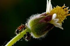 Mieren en bloemen Royalty-vrije Stock Afbeeldingen