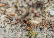 Mieren en cocon Stock Foto