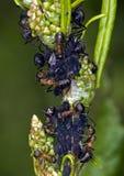 Mieren en luizen Royalty-vrije Stock Foto's