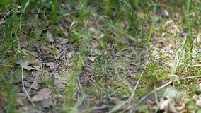 Mieren in het bos stock video