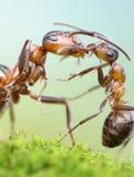 Mieren, het concept van de moederliefde Stock Afbeelding