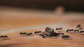 Mieren het lopen stock videobeelden