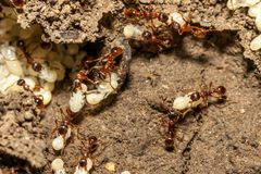 Mieren met eieren Stock Afbeeldingen