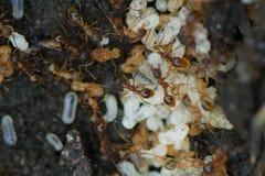 Mieren met eieren Royalty-vrije Stock Fotografie