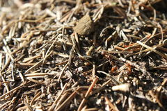 Mieren in mierenhoop Royalty-vrije Stock Afbeeldingen