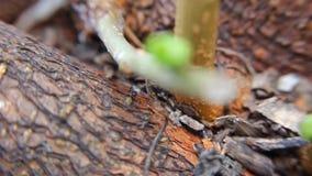 Mieren op boom macroschot stock videobeelden