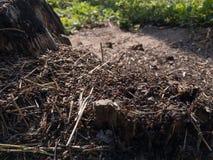 Mieren op de mierenhoop dichtbij de stomp stock fotografie