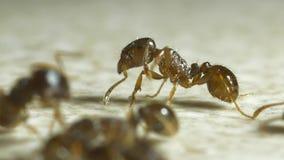 Mieren op een keukenvloer stock footage