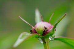 Mieren op een pioenknop Royalty-vrije Stock Afbeelding