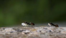 Mieren op het werk Royalty-vrije Stock Afbeeldingen