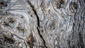 Mieren op schors van olijfboom Stock Fotografie