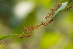 Mierenactie status De eenheidsteam van de mierenbrug, het werk van het Conceptenteam toge Royalty-vrije Stock Afbeeldingen