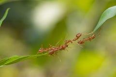 Mierenactie status De eenheidsteam van de mierenbrug, het werk van het Conceptenteam toge Royalty-vrije Stock Foto's