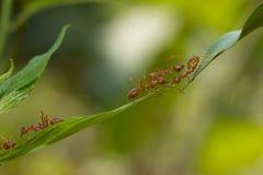 Mierenactie status De eenheidsteam van de mierenbrug, het werk van het Conceptenteam toge Stock Afbeeldingen