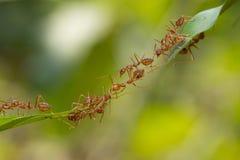 Mierenactie status De eenheidsteam van de mierenbrug, het werk van het Conceptenteam toge Royalty-vrije Stock Foto