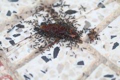 Mierenfeest met kakkerlak Stock Foto's