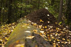Mierenhoop in het de herfstbos Stock Foto