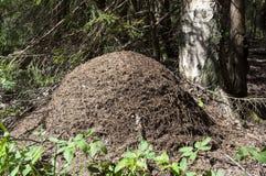 Mierenhoop in het hout Royalty-vrije Stock Fotografie