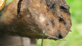 Mierenkolonie die in het logboek van hout leven stock footage