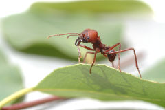 Mierenmieren die op groen blad lopen Stock Foto