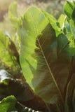 mierikswortel Stock Foto's
